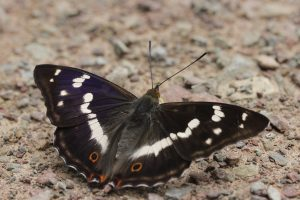 Knepp has the UK's largest breeding population of purple emperor butterflies