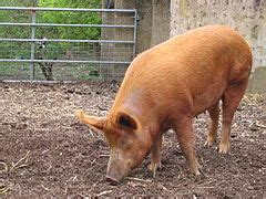 Tamworth sows are a noticeable part of the Knepp Rewilding project
